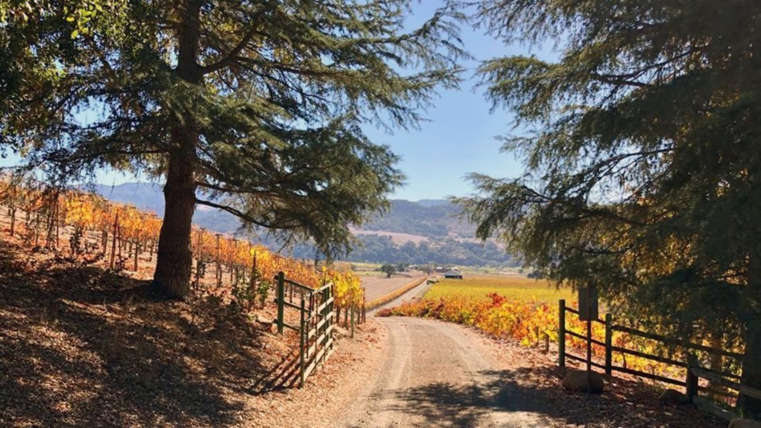 On a road in the shade of two evergreen trees looking out towards vineyards with fall colors.