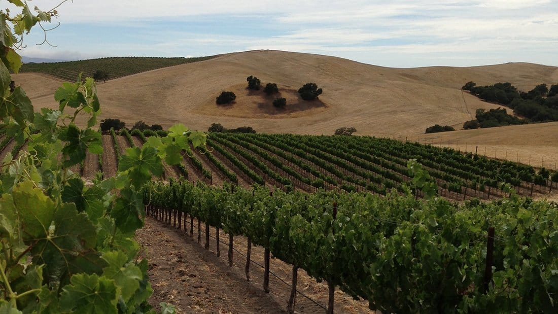 Symmetric rows of vines with rolling golden hills behind.