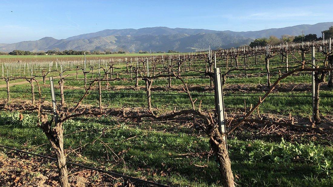 Dormant wine vines in a vineyard.