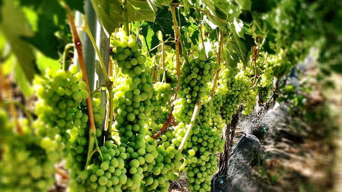 Premium green grapes hanging on a grapevine.