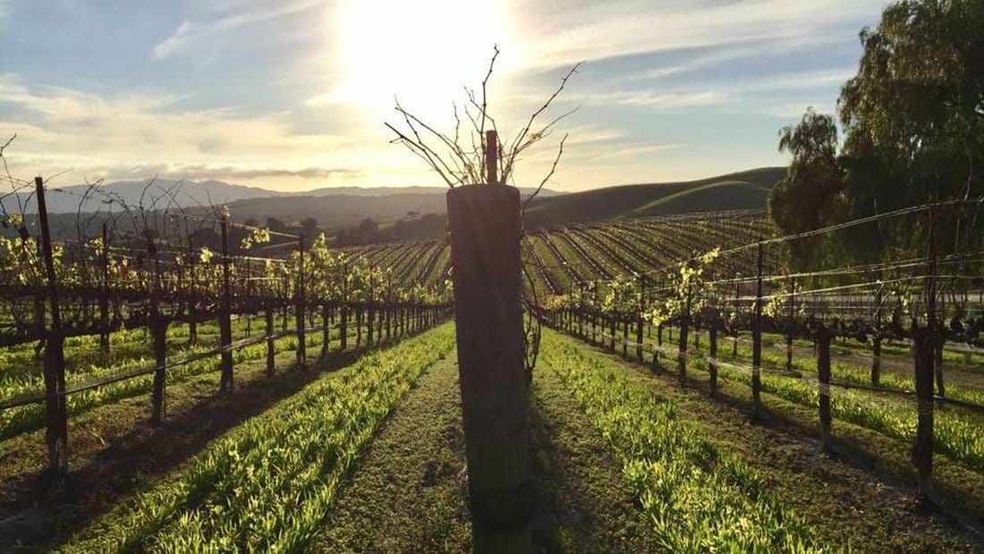 A beautiful vineyard view at sunset.