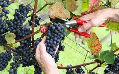 Pinot Noir Harvest in Santa Barbara County